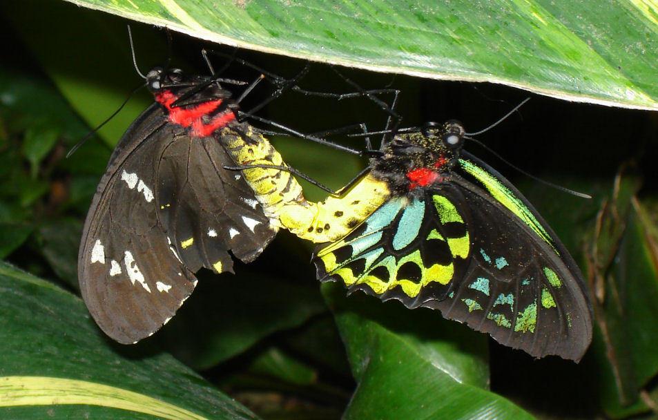 butterfly sex
