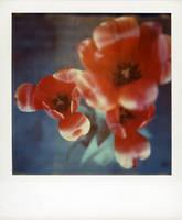 Tulip 2 by lloydhughes