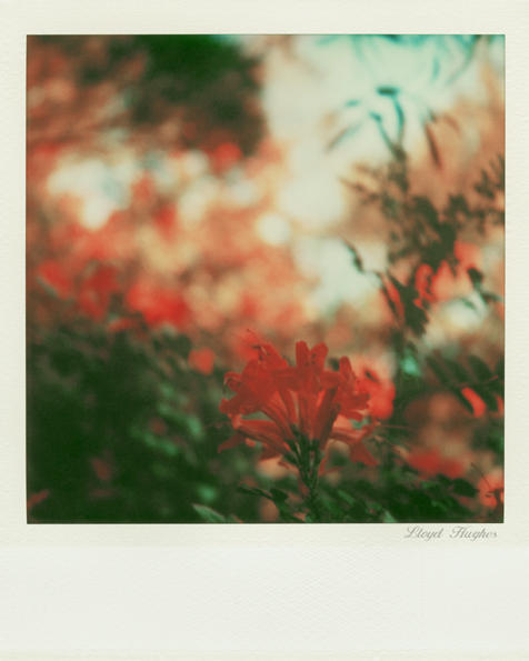 SX-70 polaroid 88 of 100 by lloydhughes