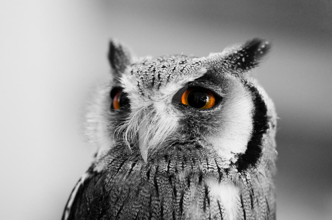 another owl photoshopped by Perseus67
