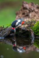 Woodpecker by Perseus67