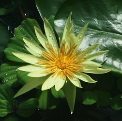 Water lilly by pauladaruk