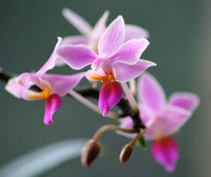 Phalaenopsis equestris by pauladaruk