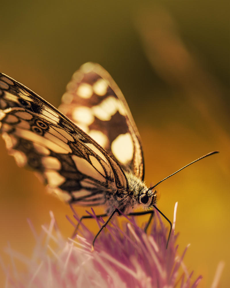 Butterfly by thenSir