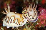 Nudibranch 002