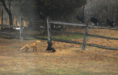 Fox and vultures by snaphappy101