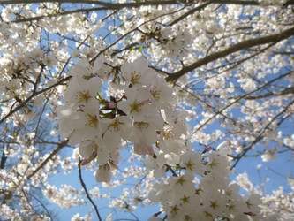 sakura II by snaphappy101