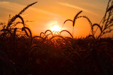 Golden Harvest by therampantbookworm