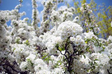 Spring Blooms by therampantbookworm