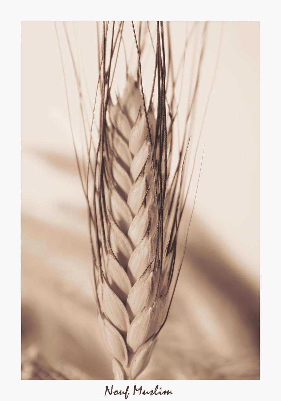wheat by NoufMuslim