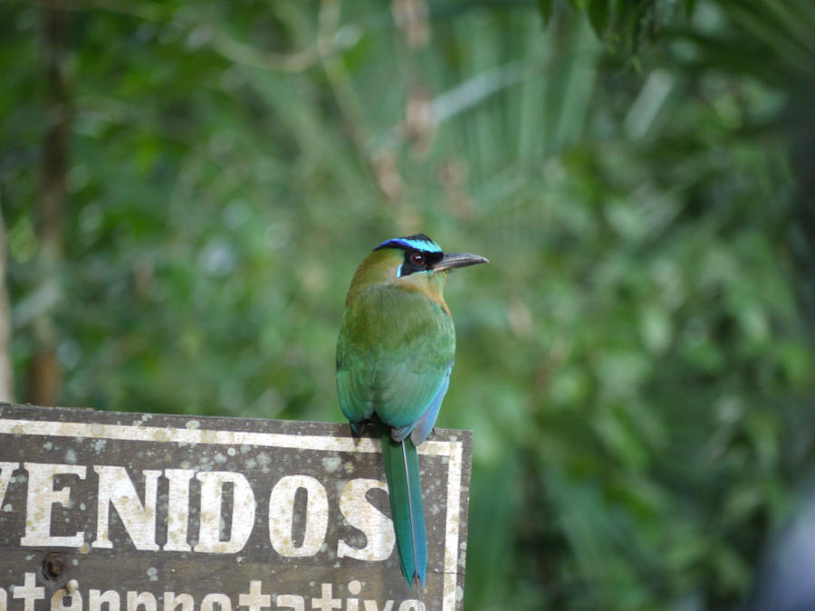 motmot bird by kram666