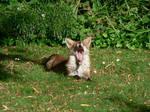 vixen's  yawning