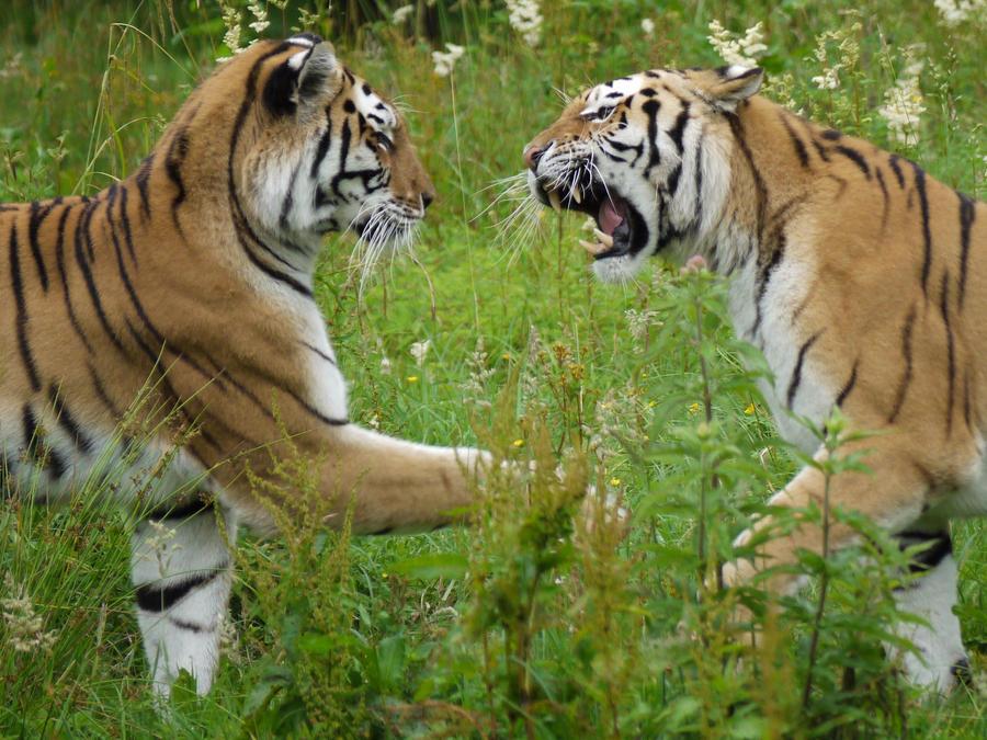tiger's by kram666
