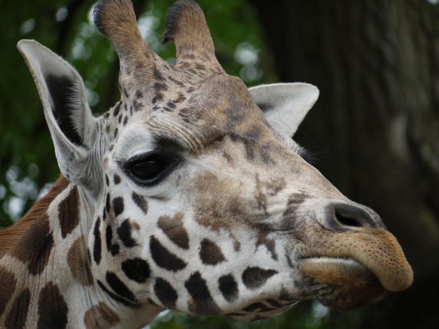 baby giraffe by kram666