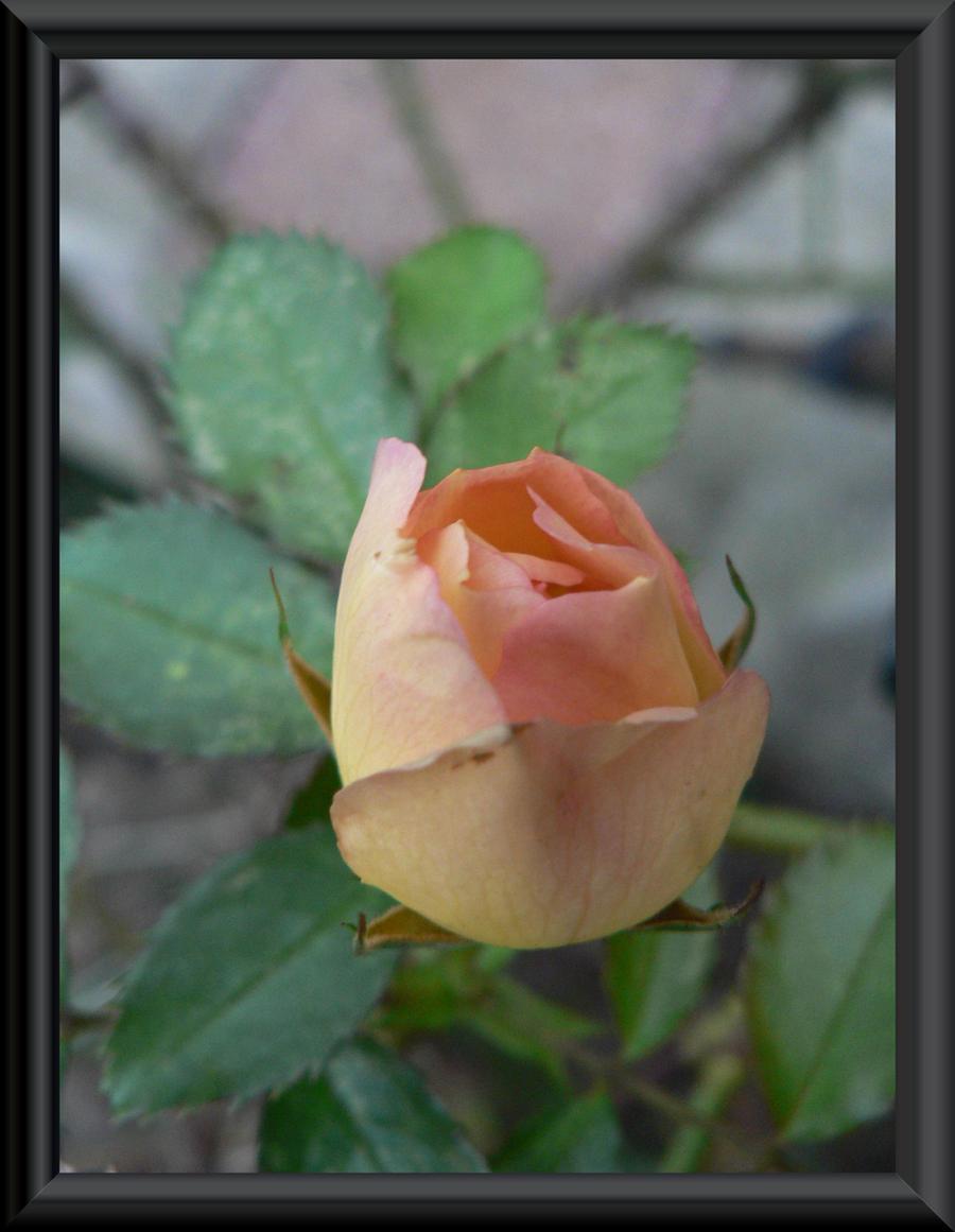 rose by kram666