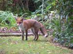 no name fox