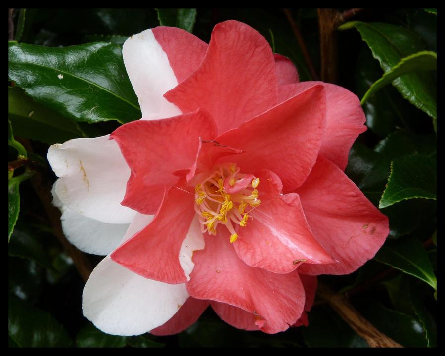 camellia by kram666