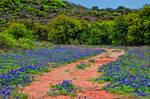 Field of Blue Bonnets