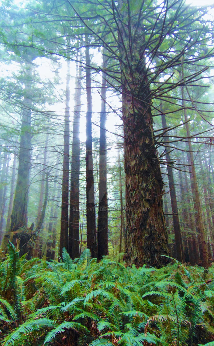 Foggy Redwood Forest by Slick-Vic
