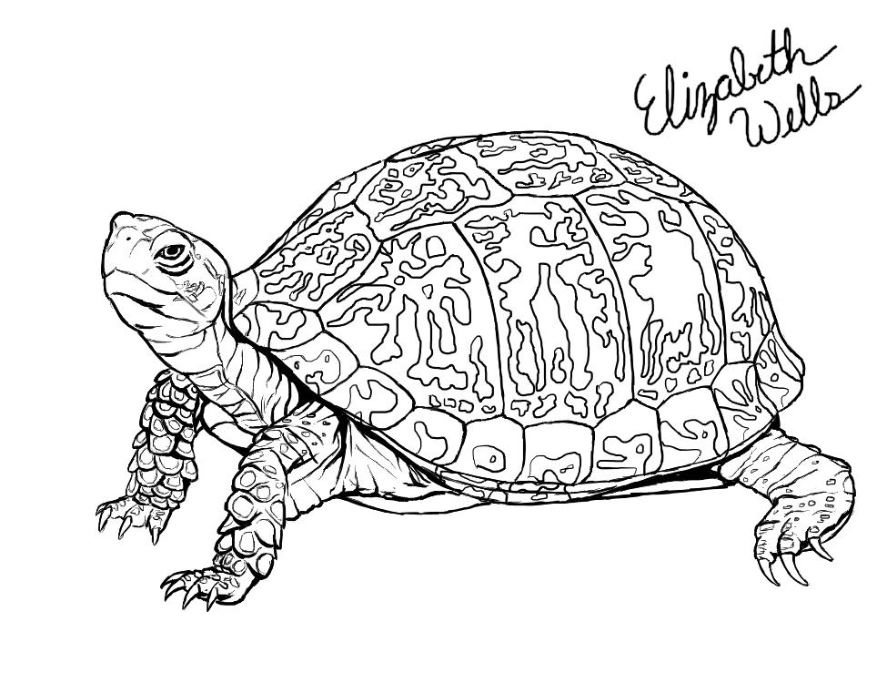 Line Art Turtle : Eastern box turtle by stargazer on deviantart