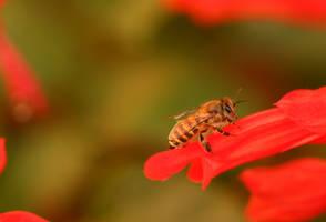 honey bee by freestyler-87