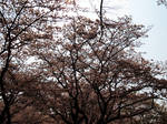 Cherry Blossoms of Harajuku