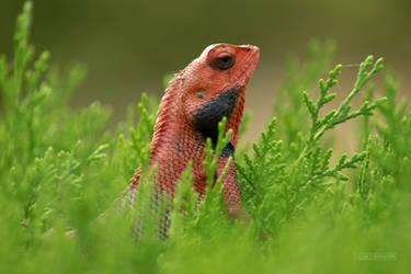 Oriental Garden Lizard 2 by himphotography