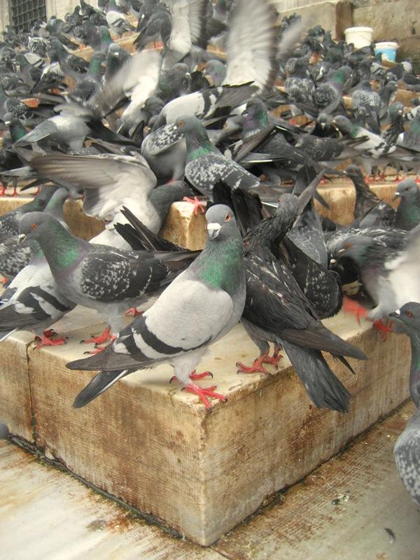 Pigeonusmus by kavsikuzah