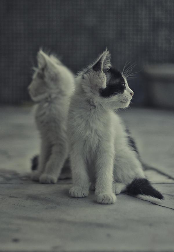 Spy Kitties