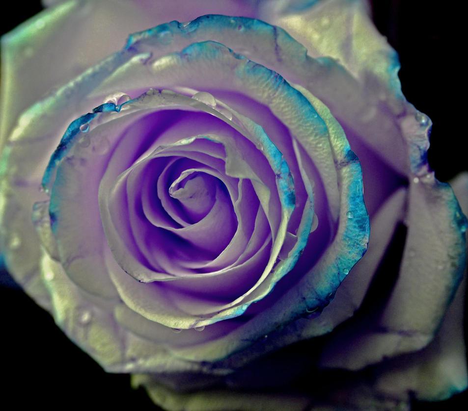 Rose10 by tanzenderengel