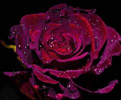 Rose18 by tanzenderengel
