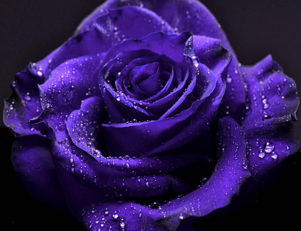 Rose30