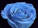 Blue Rose6