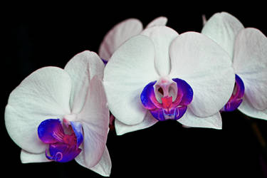 Orchid4 by tanzenderengel