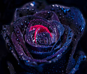 Black Beauty by tanzenderengel