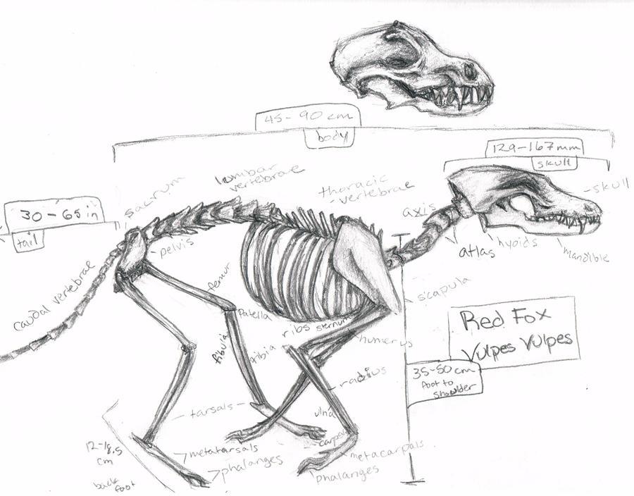 Fox Skeleton Wip By Vulpes Llwyn On Deviantart