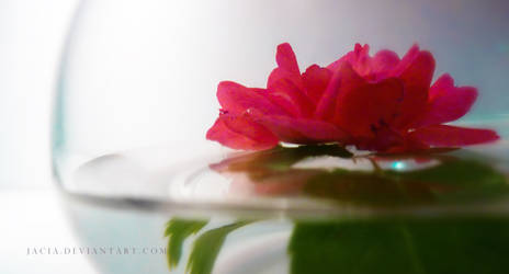 Reflections of a Rose