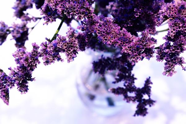 Lavender by misplacedsarcasm