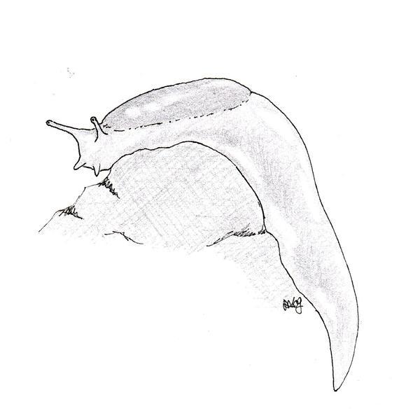 how to draw a banana slug