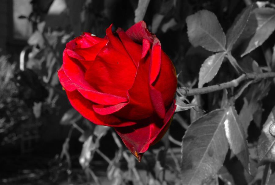 Fotografije cvijeća - Page 39 Selective_rose_by_draig3791-d4qdg3c