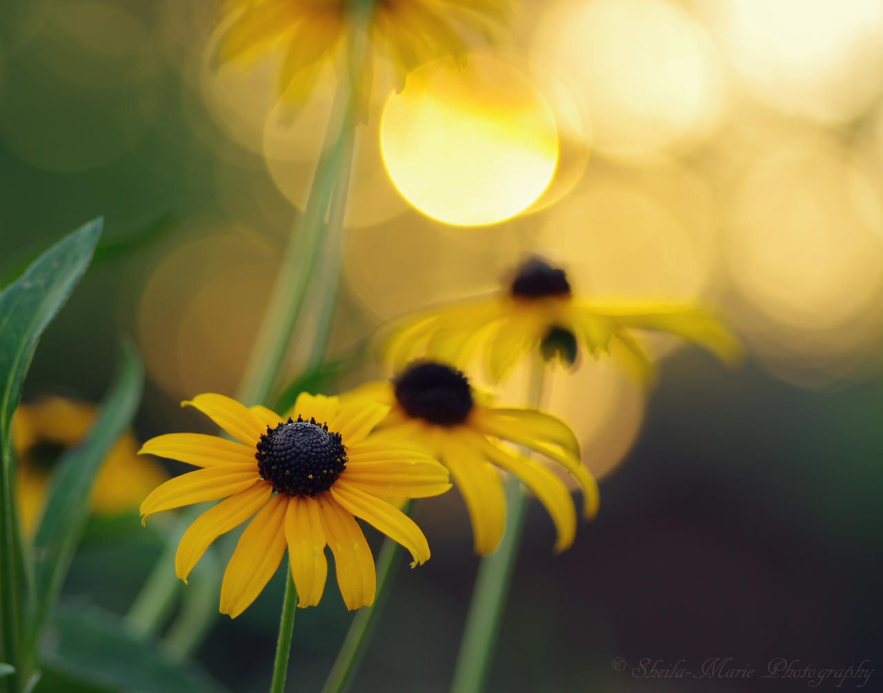 Sundown Susan by SharingMyDreams