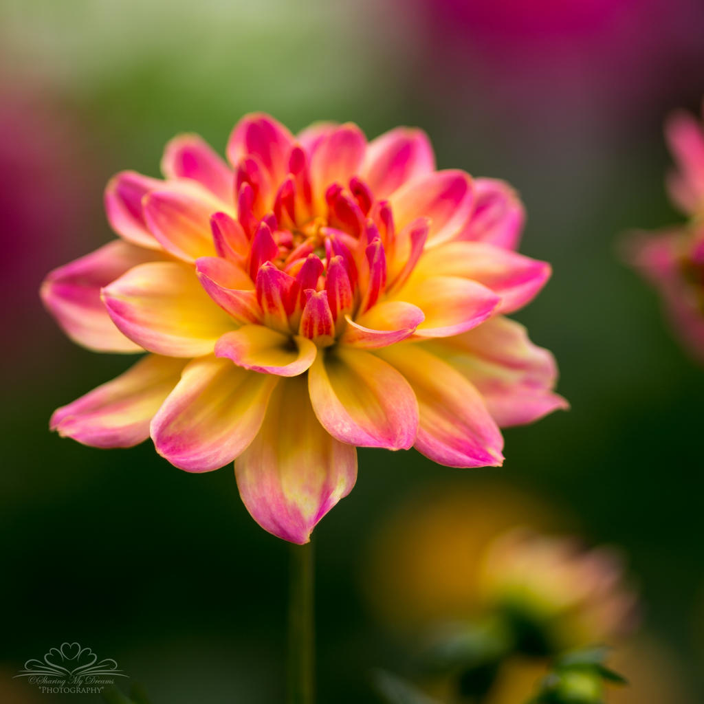 His Lovely Dahlia by SharingMyDreams