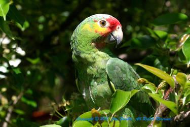 endangered amazon by jaysen223