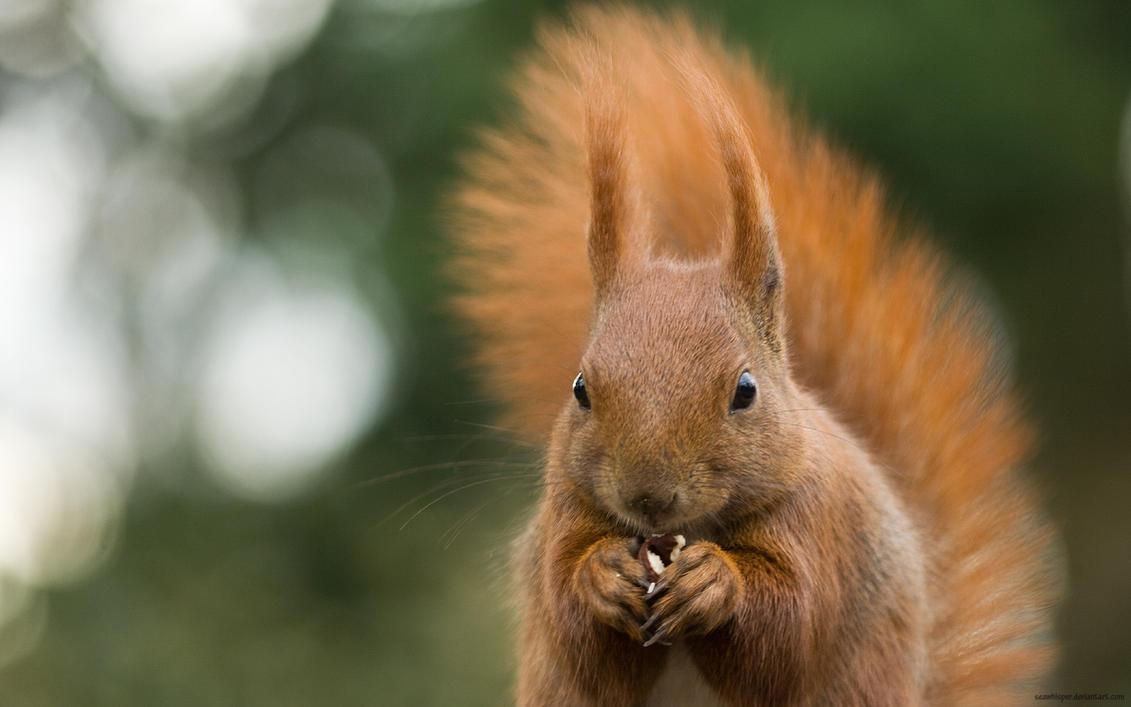 Squirrel Wallpaper by squirrelhollow
