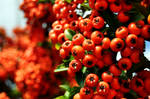 some sort of wild red berries? by BadAssMF