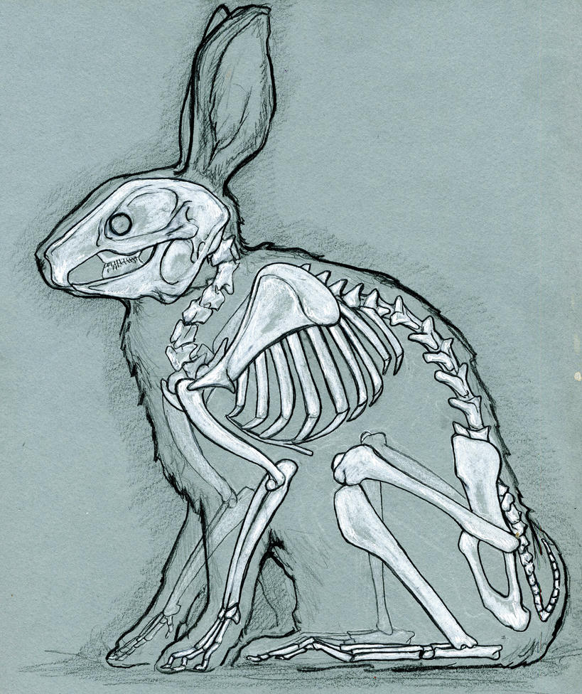 Rabbit Anatomy By Bigredsharks On Deviantart