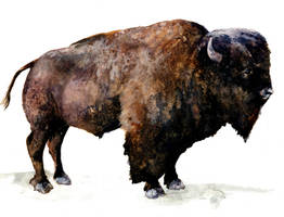 Bison watercolor sketch by bigredsharks