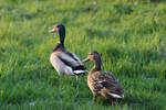 Mallard Ducks by Serial-Painter