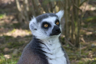 Ring-tailed lemur by Serial-Painter