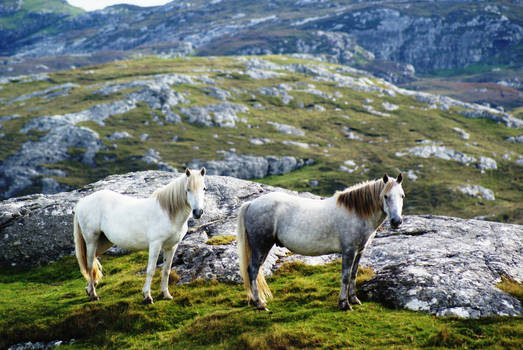 Eriskay Ponies on their island